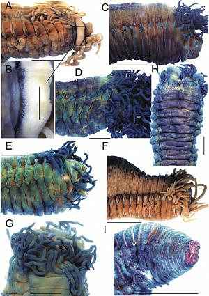 Микрофотографии основных внешних морфологических признаков Thelepus cincinnatus